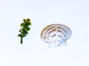 Sprig of Rosemary & Seashell with Basket